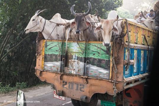 Tausende von Kühen werden für das muslimische Opferfest nach Dhaka gebracht.