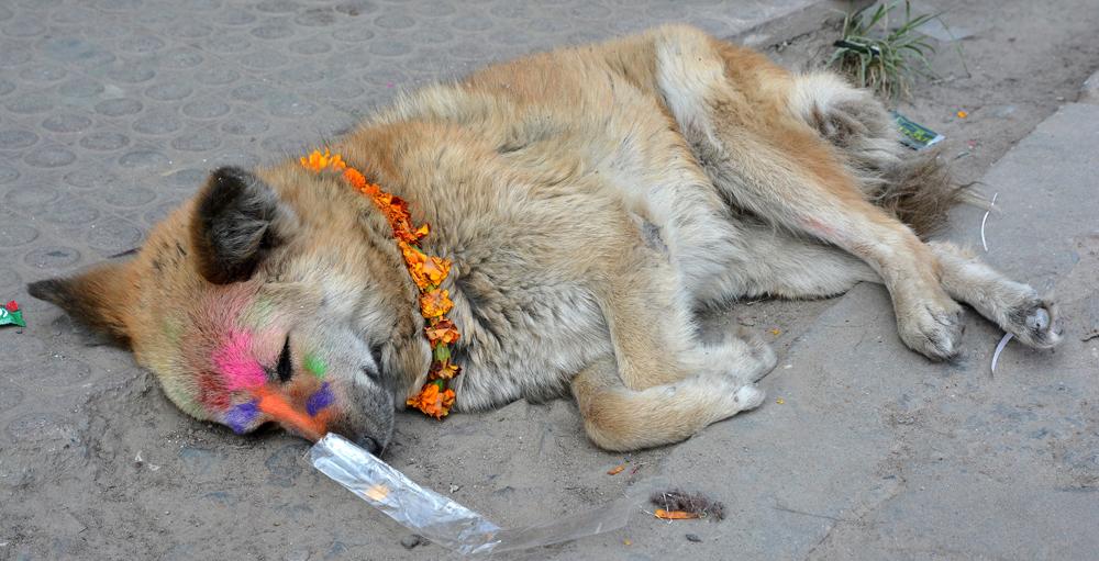 """Strassenhunde erhalten am dritten Tihar-Tag ihr """"Tika""""."""
