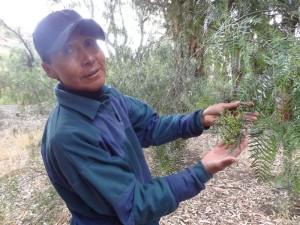 Nicanor der lokale Reiseführer erklärt uns die Pflanzen in Oploca.