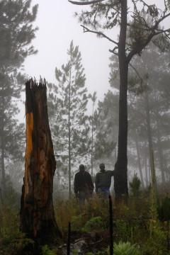 Exemple d'arbre coupé pour faire du bois gras