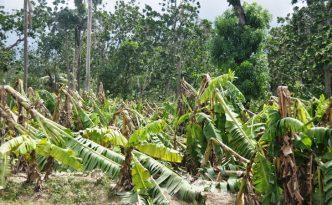 Matthew a décimé les bananeraies (Photo: Francis Concite)
